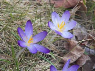 crocus in bloom 1