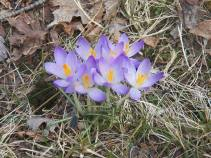 crocus in bloom 4